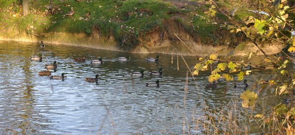 13_Ducks_in_pond_used