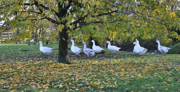 28_Geese