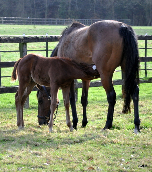 cushat_and_foal