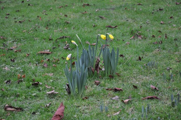 10_Jan_daffs280